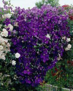 Clematis 'Jackmanii' • Plants & Flowers • 99Roots.com
