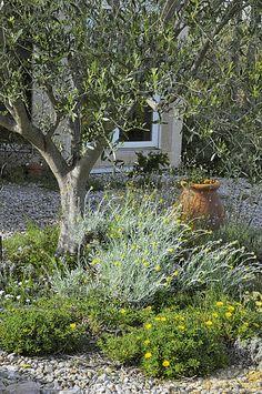 Helichrysum et Astericus maritimus sur gravier au pied de l'olivier.