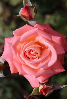 Such a beautiful Pink Rose Amazing Flowers, Beautiful Roses, My Flower, Pretty In Pink, Beautiful Flowers, Rosa Rose, Coming Up Roses, Colorful Roses, Flowers Nature