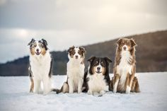 Photographier le chien coloré: berger australien par Tina Schäfer