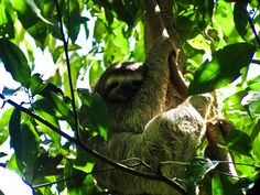 Exploring Costa Rica's rain forest you come across creatures as cute as this one! <3
