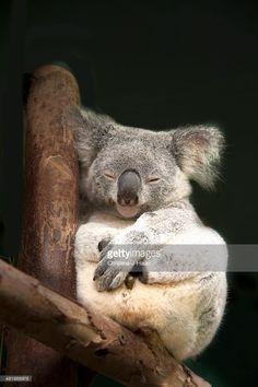 Australian Koala sleeping on wooden structure