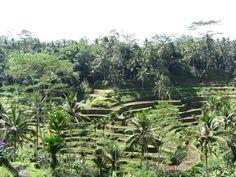 Bali rice paddies Cactus Plants, Bali, Rice, Vacation, Places, Vacations, Cacti, Cactus, Holidays Music
