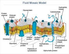 Fluid Mosaic Model Of Cell Membrane Structure Biology Projects, Biology Lessons, Science Biology, Plasma Membrane, Cell Membrane, Cell Biology Notes, Biology Online, Biology Poster, Membrane Structure