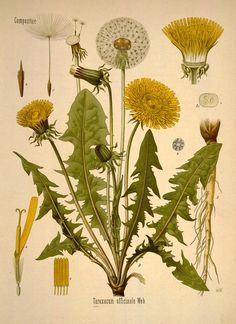 Dandelion. From Köhler's Medizinal-Pflanzen, vol. 1. Source: Biodiversity Heritage Library / Missouri Botanical Garden. Public domain. [Dandelion, Taraxacum sp., Asteraceae]