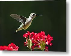 Hovering Hummingbird Metal Print by Christina Rollo.  All metal prints are…