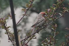 A male house finch enjoying blooms on a crabapple tree in my urban garden. #urban garden # house finch #crabapple tree Info @ https://www.facebook.com/TheLastLeafGardener/posts/973044646078242