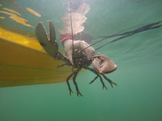 Lobster V Notch release back into the Firth of Forth.