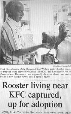 This is only a few miles from my house.  Rooster Captured Near KFC - Neatorama