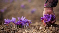saffron growing