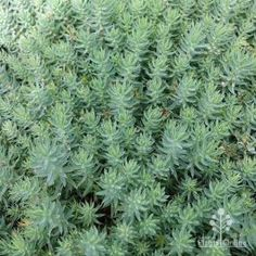 Euphorbia pithyusa 'Grey Hedgehog' - little fir spurgeDESCRIPTION:Small evergreen herbaceous perennial with a mound of soft, feathery blue--grey leaves whorled around central stems, tipped with lime-green flowers in summer. The lower leaves turn pink in winter. Found naturally in rocky Mediterranean coastal areas. USE IN:Cottage style gardens, mixed beds and borders, wildlife gardens, kitchen gardens. PLANTING:Plant in a full sun to partly shaded position in the garden, in rich well… Seaside Garden, Australian Plants, New Roots, Herbaceous Perennials, Plants Online, Cream Flowers, Types Of Soil, Drought Tolerant, Cottage Style