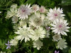Astrantia shaggy: Deadhead throughout the summer, to prolong the bloom time. If conditions are dry and the foliage begins to yellow, shear it to the crown. Allow the new growth to remain through the winter. If no yellowing occurs, leave the plants for spring cleaning.