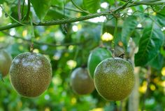 How To Grow Passionfruit - Australian Handyman Magazine Growing Passion Fruit, Passion Fruit Plant, Growing Fruit Trees, Fruit Plants, Edible Plants, Fruit Garden, Edible Garden, Passionfruit Vine, Passionfruit Recipes