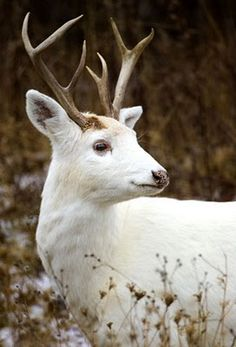 White Stag ~ The White Deer of the Senecas in New York state who have the largest herd of white deer in the world. Called 'Ghost Deer' by Native Americans, these animals are not albinos.
