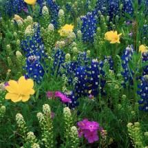 Bluebonnets and wildflowers.