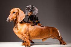 Standard vs. miniature dachshund.