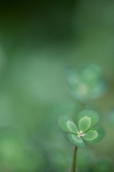minimalist nature photography / four leaf clover / lucky aesthetic / irish mood / green color / simple macro / beautiful close up / iphone wallpaper inspiration Foto Top, Four Leaves, Four Leaf Clover, Clover 3, Macro Photography, Belle Photo, Shades Of Green, My Favorite Color, Green Colors