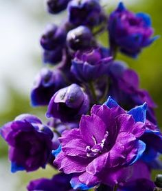 <3 beautiful blue and PURPLE Delphinium.  One of the most beautifully colored flowers. Need staking as their stalks are hollow. They are fine until a heavy rain or high wind. If they break, put them in a vase and brighten your home.