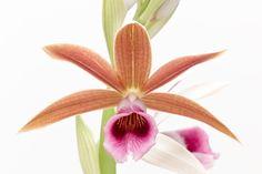 Orchids in White: Phaius tankervilleae