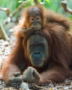 40% OFF SALE -Baby ORANGUTAN and Mom Photo, 8 X 10 Print,  Baby Animal Photograph, Wildlife Photography, Nursery Art, Jungle Zoo, Monkey on Etsy, $15.00