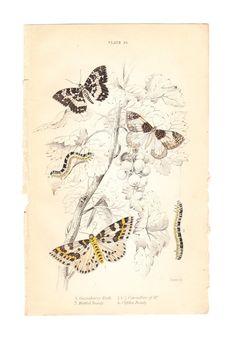 #moth #tattoo    Gooseberry Moth, Mottled Beauty, Clifden Beauty Print . original engraving art dated 1836. via Etsy.