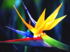 : Strelitzia reginae, oiseau du paradis ... ( Photo de la page de : Fleurs & fruits )