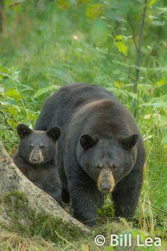 Black Bear, Bears, Dog Cat, Wildlife, Dogs, Cute, Animals, Animales, American Black Bear