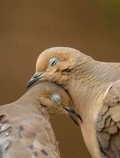 Mourning Doves mate for life loving birds. Pretty Birds, Love Birds, Beautiful Birds, Animals Beautiful, Beautiful Symbols, Birds 2, Wild Birds, Simply Beautiful, Animals And Pets