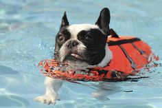 swimming french bulldog. these guys need life vests because they are so top heavy they tend to sink
