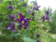 purple columbine [So excited to find two of these plants growing in my overgrown flower bed this year!]