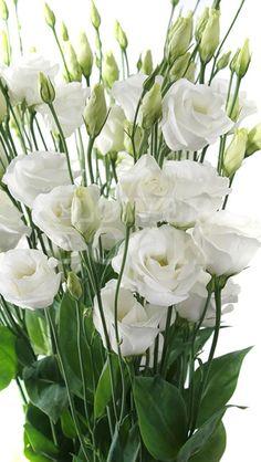 lisianthus eustoma rosita white wei lisianthus pinterest blumen wei e blumen und strau. Black Bedroom Furniture Sets. Home Design Ideas