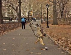 BIRDS OF PREY - HUNTERS - HAWK NABS PIGEON IN THE PARK!