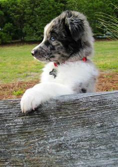 Miniature Australian Shepherd at the park
