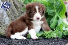 Annie – Border Collie Puppies for Sale in PA | Keystone Puppies