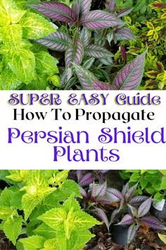 Easy step by step illustrated guide to Propagating Persian Sheld Plants by taking cuttings