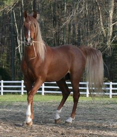 El Rhaqiis DSA - straight Arabian stallion - a striking flaxen chestnut color