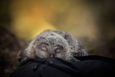 Sleeping tiny owl by Tanja Brandt on 500px