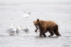 Congratulations to @amyamesphotography for winning the Your Best Photo Of 2017 assignment with the image Fresh Catch. I was lucky enough to spend five days at Cook Inlet in Lake Clark National Park and Preserve Alaska in late July of 2017. The salmon were just starting to run and that morning we were so excited to see the bears fishing on the beach. This cub had just snatched this catch from its mother and ran down the beach. This cub had so much personality taunting its siblings with the…