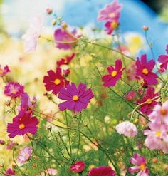 cosmos to plant along white picket fence so they go on both sides of it (dwarf cosmos will keep from drooping)