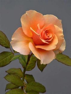 Orange roses are my favorites Beautiful Rose Flowers, Amazing Flowers, Pretty Flowers, Rose Reference, Rosa Rose, Hybrid Tea Roses, Orange Roses, Flower Pictures, Planting Flowers