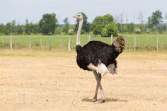 ostrich Non-Traditional Farm Animals   10 Uncommon Animals Found on The Farm
