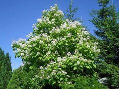 Catalpa bignonioides i ovata to cuda lecznicze naszego świata! Herbs, Gardening, Plants, Lawn And Garden, Herb, Plant, Planets, Horticulture, Medicinal Plants