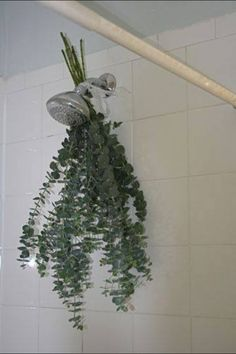 Eucalyptus tied on your shower head and when you take a shower the steam will infuse the smell from the eucalyptus. A great way to decongest during the cold season.