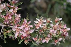 Desert peach is a shrub that becomes almost totally covered with pink blossoms. The name comes from this plant's peach-like fragrance.