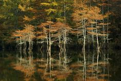 Fall cyprus trees photo, in Landscape by TaoMaas: Fall cyprus trees reflected in the Lower Mountain Fork River at Beavers Bend State Park in Beavers Bend State Park, State Parks, Beaver Bend, Forked River, Broken Bow, Photo Tree, Photo Galleries, Places To Visit, Landscape