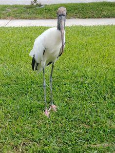 Stork Bird, Flamingo, Animals, Flamingo Bird, Animales, Animaux, Flamingos, Animal, Animais