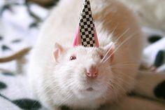 Foto de Melina Souza. Ratazana branca usando chapéu de aniversário.