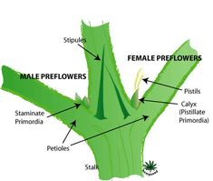 Early Female Plant | Cannabis Grow Bible | Tags: sexing