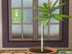 How to Grow Plumeria from Cuttings. Plumeria is a beautiful tropical flowering plant that comes in a variety of different colors and can be kept indoors or outdoors if the conditions are right. If you want your own plumeria plant, you can. Plumeria Care, Plumeria Flowers, Tropical Plants, Tropical Flowers, All About Hawaii, Florida Gardening, Garden Yard Ideas, Plant Care, Planting Flowers
