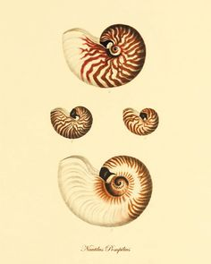 Shell Vintage prints old prints Ocean Decor ocean life Natural History sea life art antique prints shell print Victorian art 8x10 art print
